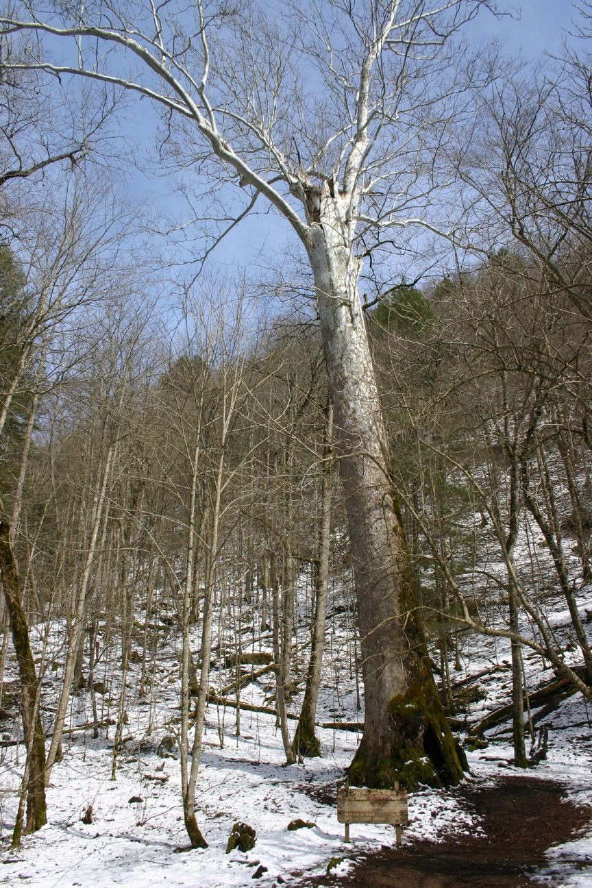 World\'s Largest Sycamore on the Elk River in Webster Springs | West ...