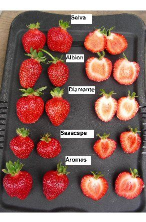 Strawberry Everbearer Albion Strawberry Plants Everbearing Strawberries Growing Strawberries