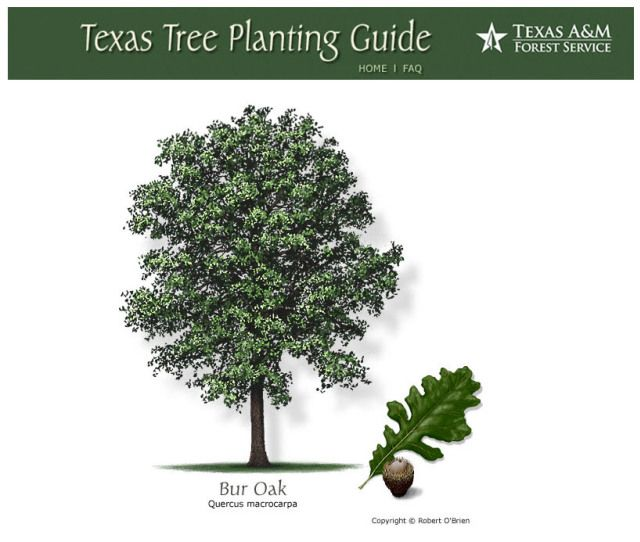 Burr Oak Fast Growing Shade Tree For Texas Fast Growing Shade