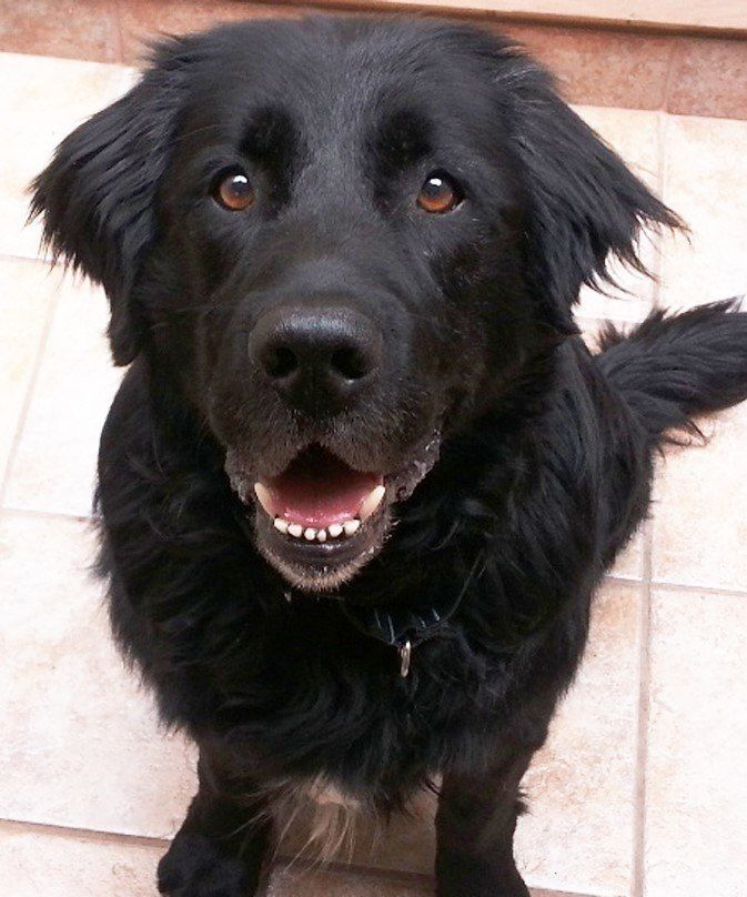 15 Newfoundland Mixes Breeds Enormous Newfies To Nuzzle You Newfoundland Puppies Newfoundland Dog Puppy Labrador Mix
