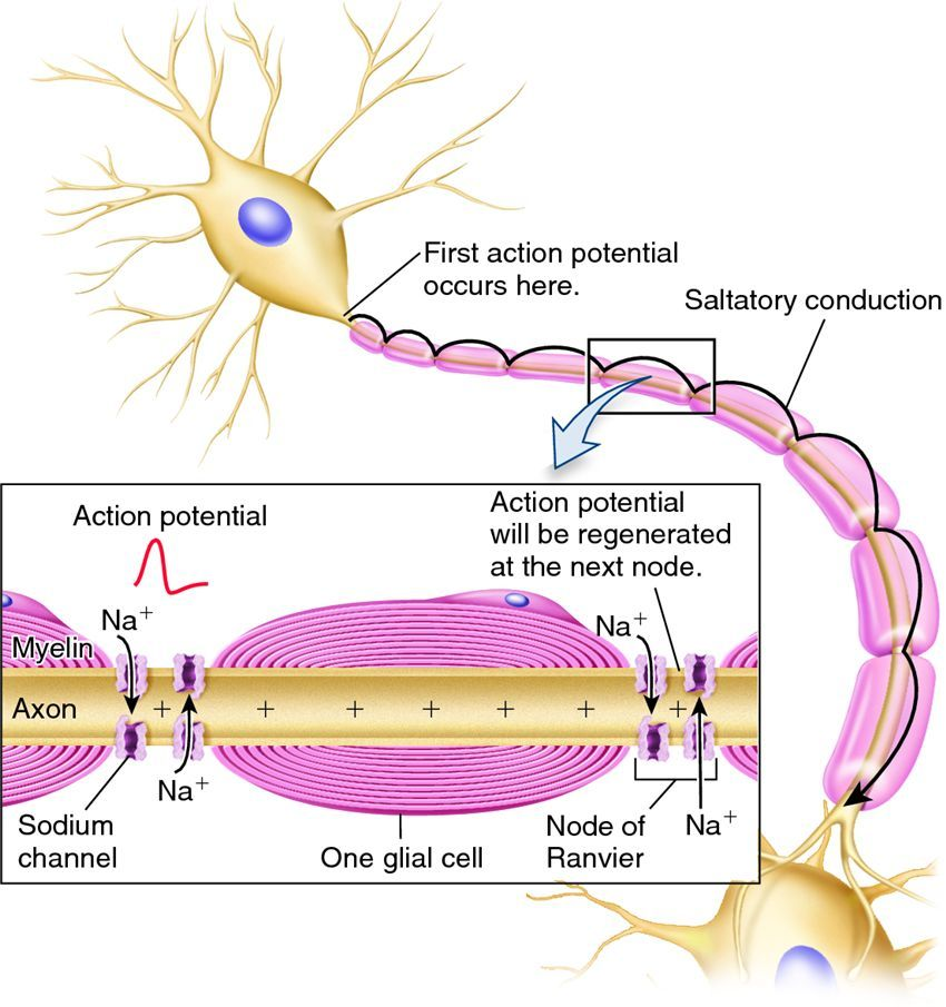 Myelination of a Neuron and Action Potention