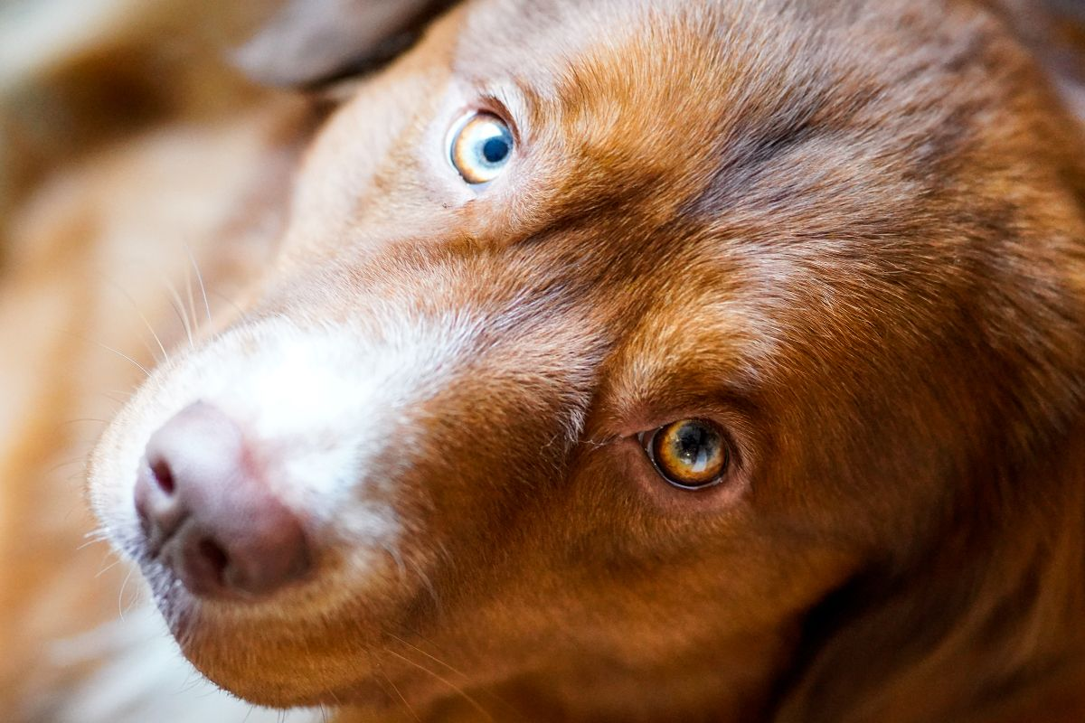 Look Into Styx His Eyes Beautiful Toller Pup His Eye Color Is