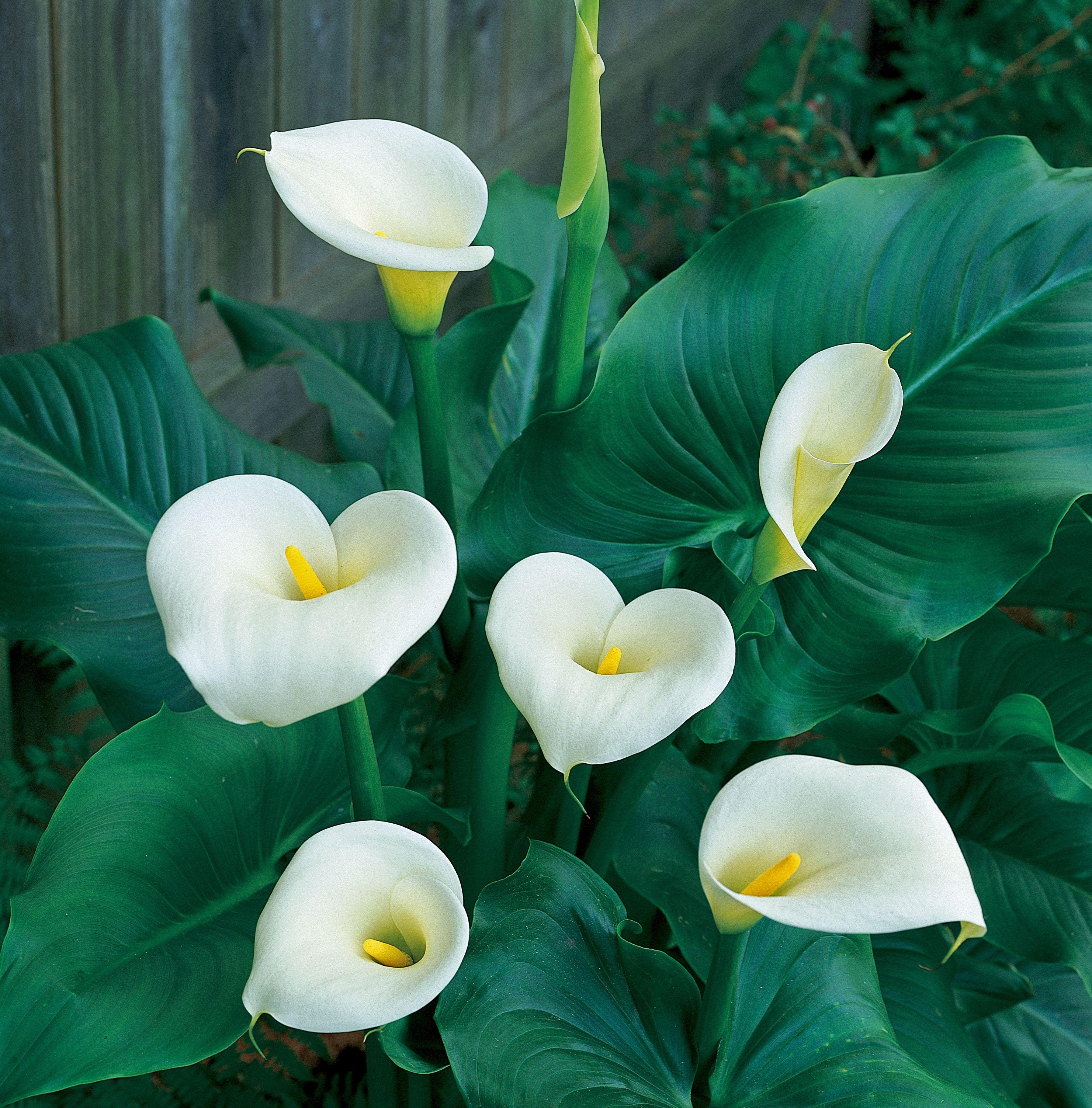 Aethiopica white calla lily bulbs for sale garden pinterest aethiopica white calla lily bulbs for sale izmirmasajfo