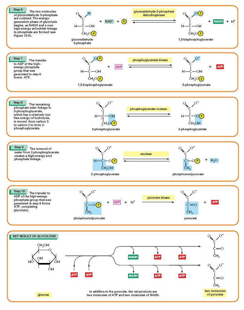 Details of the 10 Steps of Glycolysis Part 2 of 2