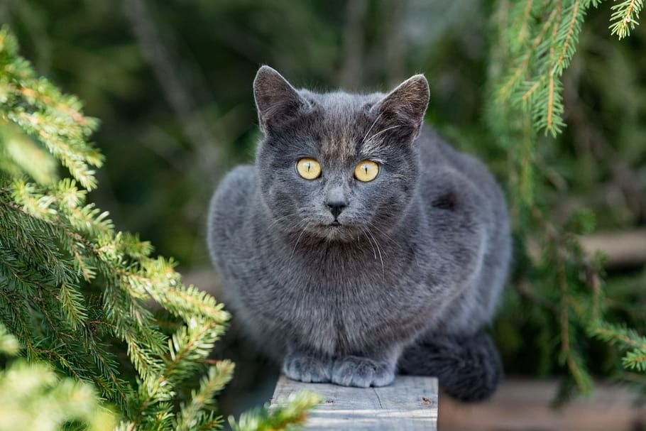 Le Chat Chartreux Caractere Masterlocksafety Le Chartreux Caractere Education Sante Prix Race In 2020 Animals Cats Ugg Boots