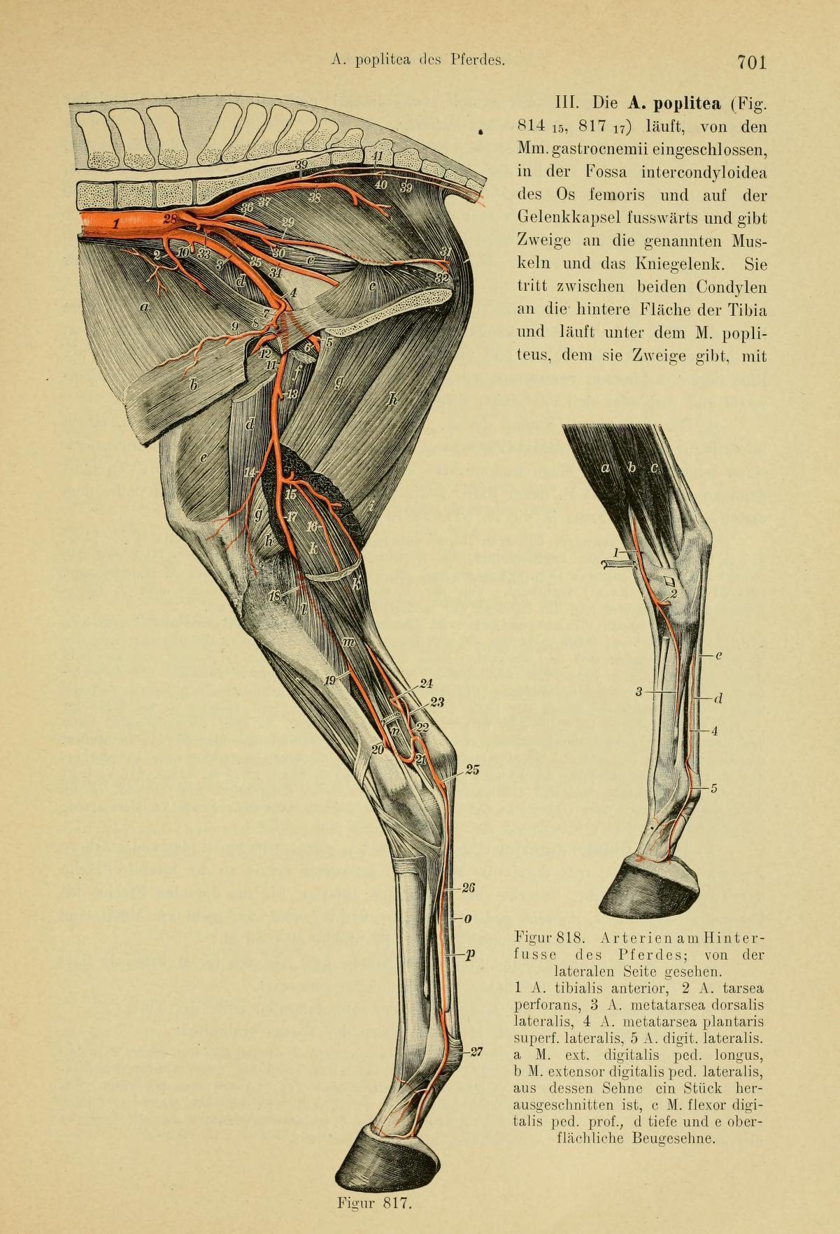 Handbuch der vergleichenden Anatomie der Hausti... | Animals ...