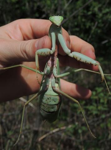 Top 5 Praying Mantis As Pets For Beginners And For Those Who Want