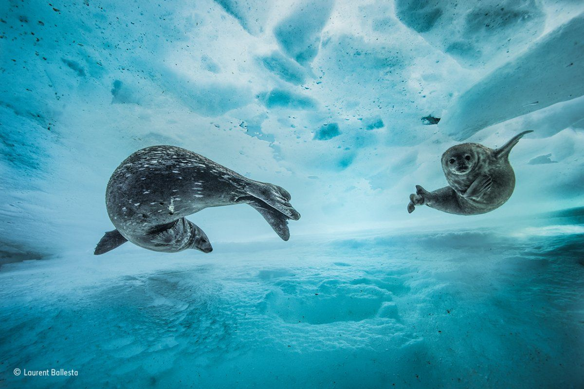 in-east-antarctica-a-mother-weddell-seal-introduced-her-pup-to-the- underwater-frozen-labyrinth.jpg (1200×799) | Wildlife, Animals, Wildlife photography