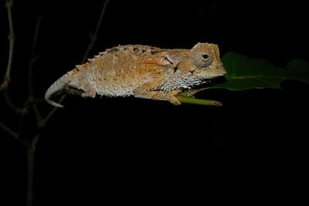 Brookesia Chameleon Care Sheet Chameleon Care Animal Species Animals