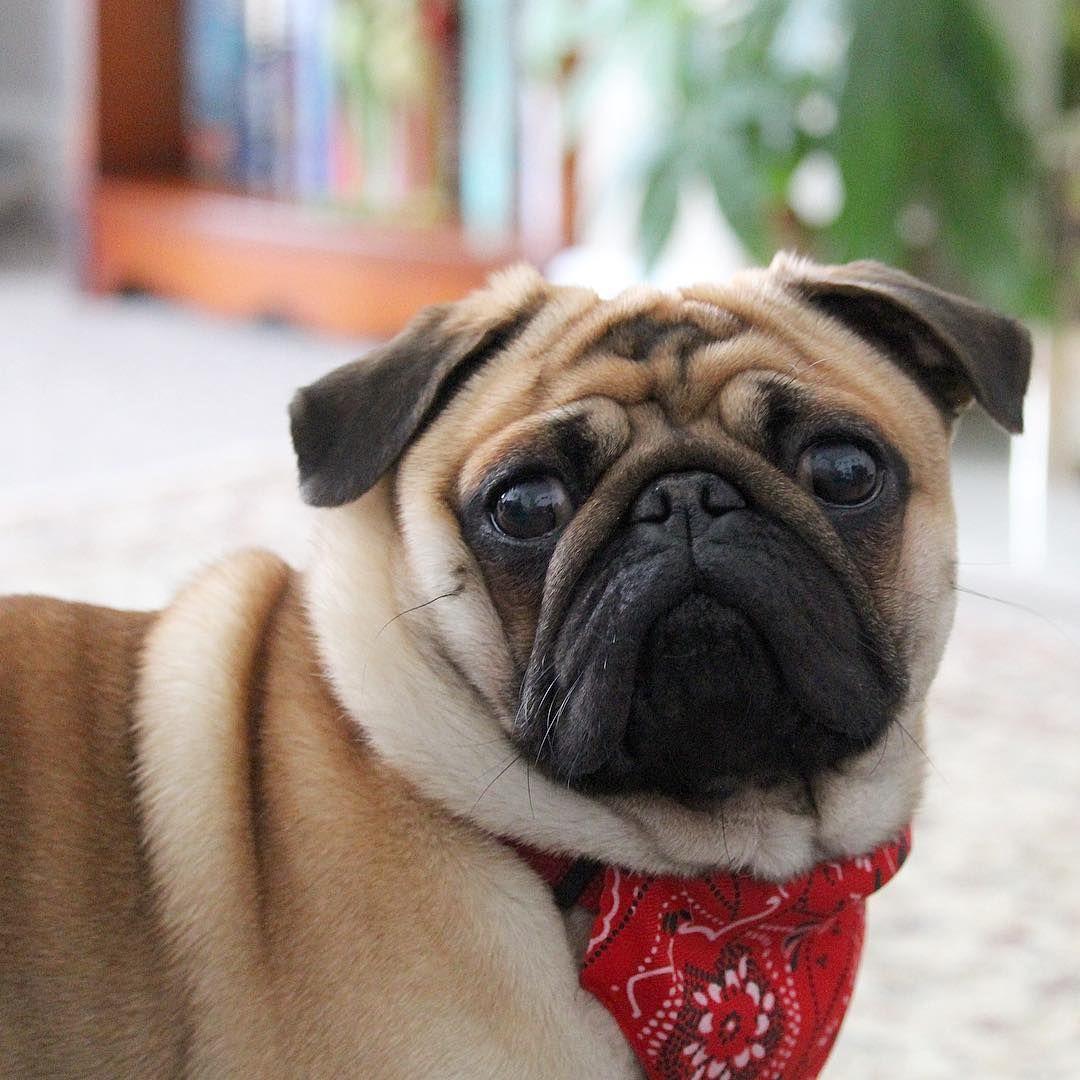 Pin By Pug Life On Pugs Pug Dog Pug Puppies