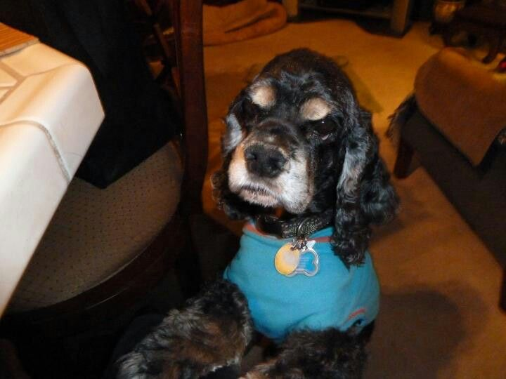 My Cocker Boy Bailey At 13 1 2 He Misses Tannyr Alot They Were Always Together Baily Will Be 16 In One M Cocker Spaniel Black Cocker Spaniel Spaniel Art