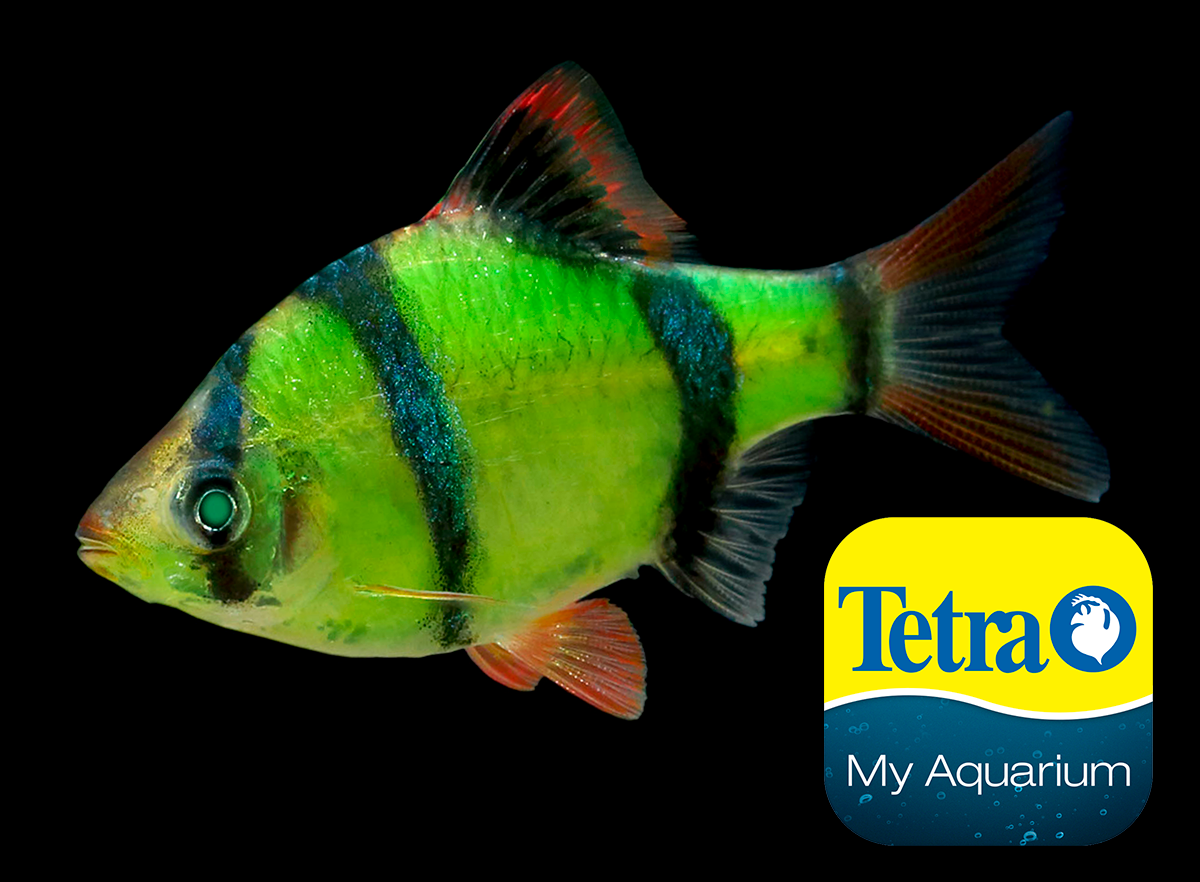 Glofish Electric Green Tiger Barb Puntigrus Tetrazona In 2020 Glofish Aquarium Set Colorful Fish