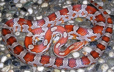 Corn snake - Miami phase  Miamis are not man-made morphs, but a