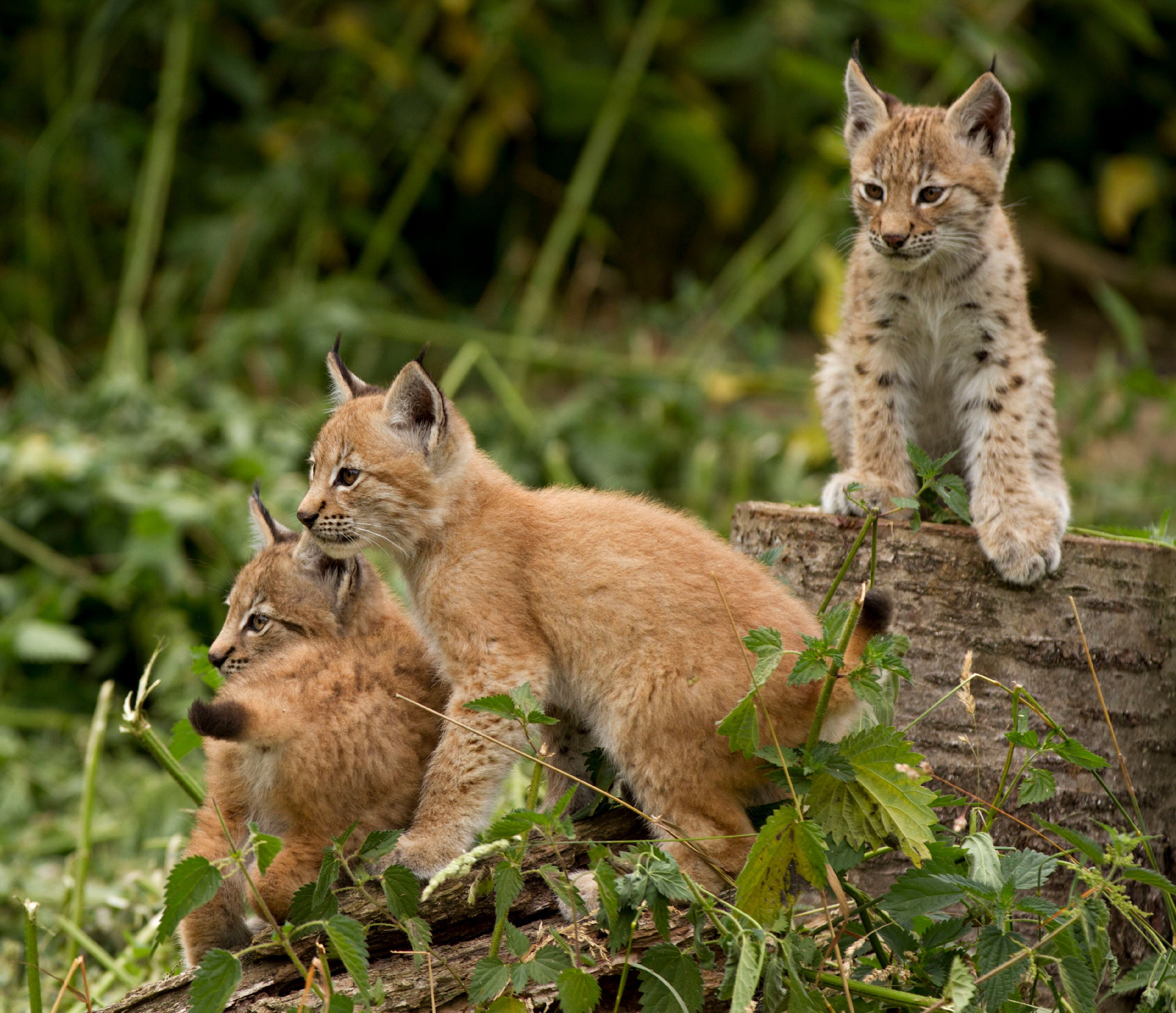 Lynx Kitten Triplets Make Their Public Debut At Whipsnade Zoo