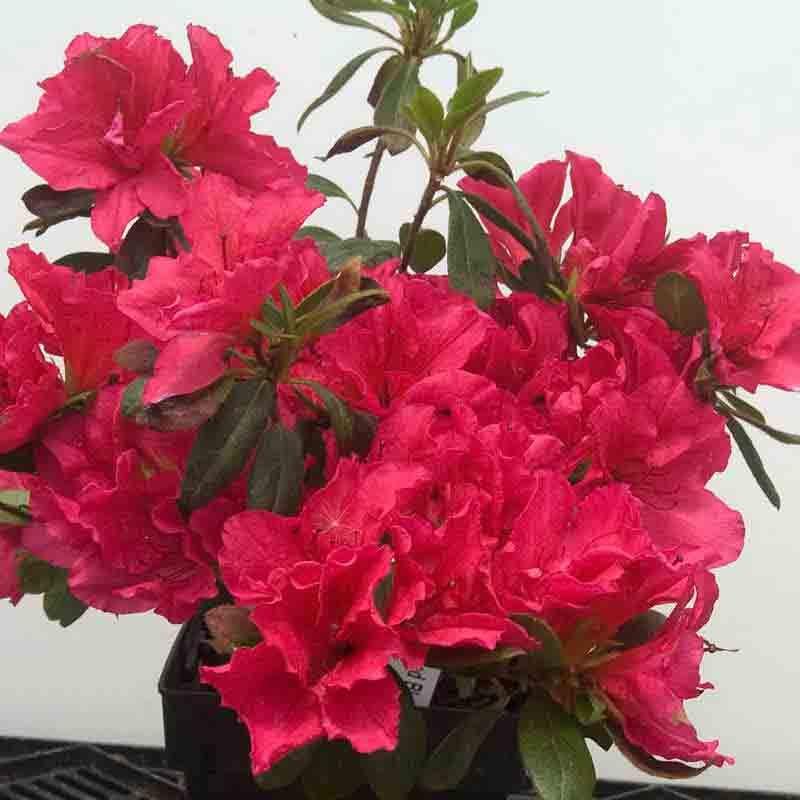 Azalea Bloom A Thon Reg Red Azaleas Beautiful Flowers Images Bloom