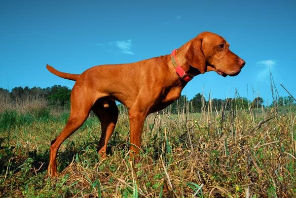 Nothing Missing Vizsla Beating Cancer Still In The Field Vizsla Vizsla Dogs Dogs