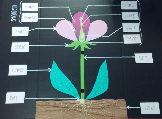 Rose Flower Life Cycle Diagram Science Flower Anatomy 3d Project School Lesson Crafts