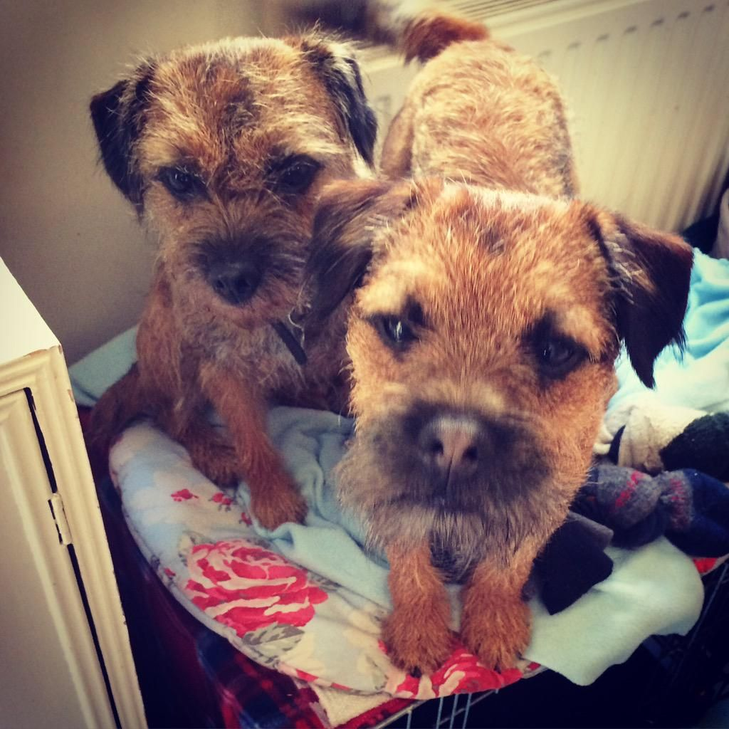 Pin On Border Terriers