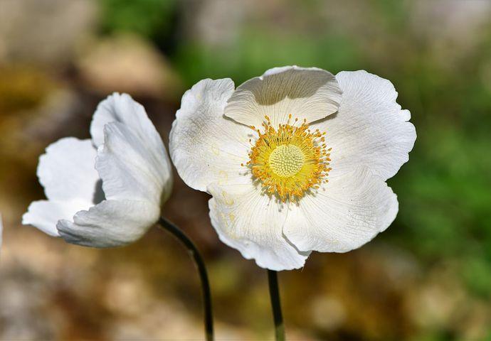 Wiosenne Kwiaty Zdjecia Pobierz Darmowe Obrazy Pixabay Flower Meanings Anemone Flower Anemone