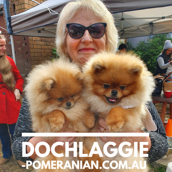 Dochlaggie Pomeranian Puppies Melbourne Dochlaggie Dochlaggiepomeranians Pomeranians Pomeranian Pomeraniandog Pomeranian Puppy Pomeranian Dog Puppies