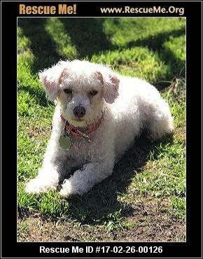 California Poodle Rescue Adoptions Rescueme Org Poodle