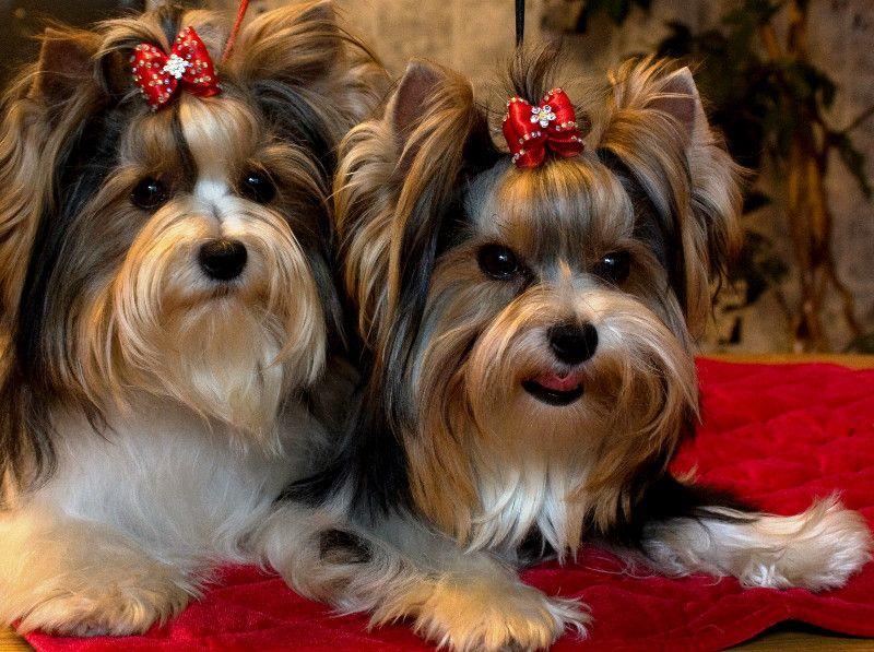 Biewer Yorkshire Terrier Beiwer Yorkies Pinterest