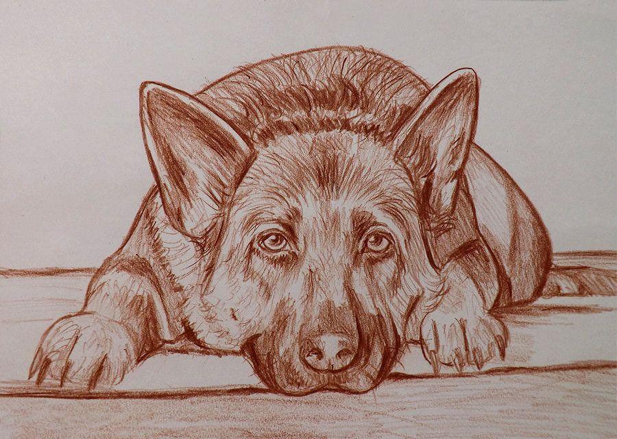 Ritratto Disegno Cani Su Commissione Matita Sanguigna Su