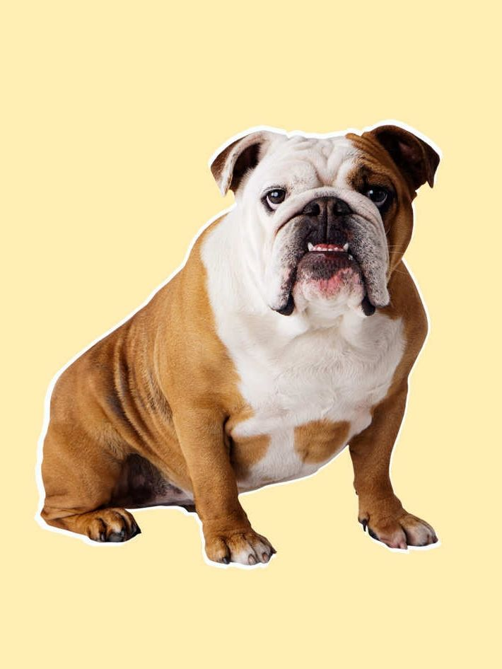 We Ve Run Out Of Time To Save The Bulldogs Bulldog Breeds