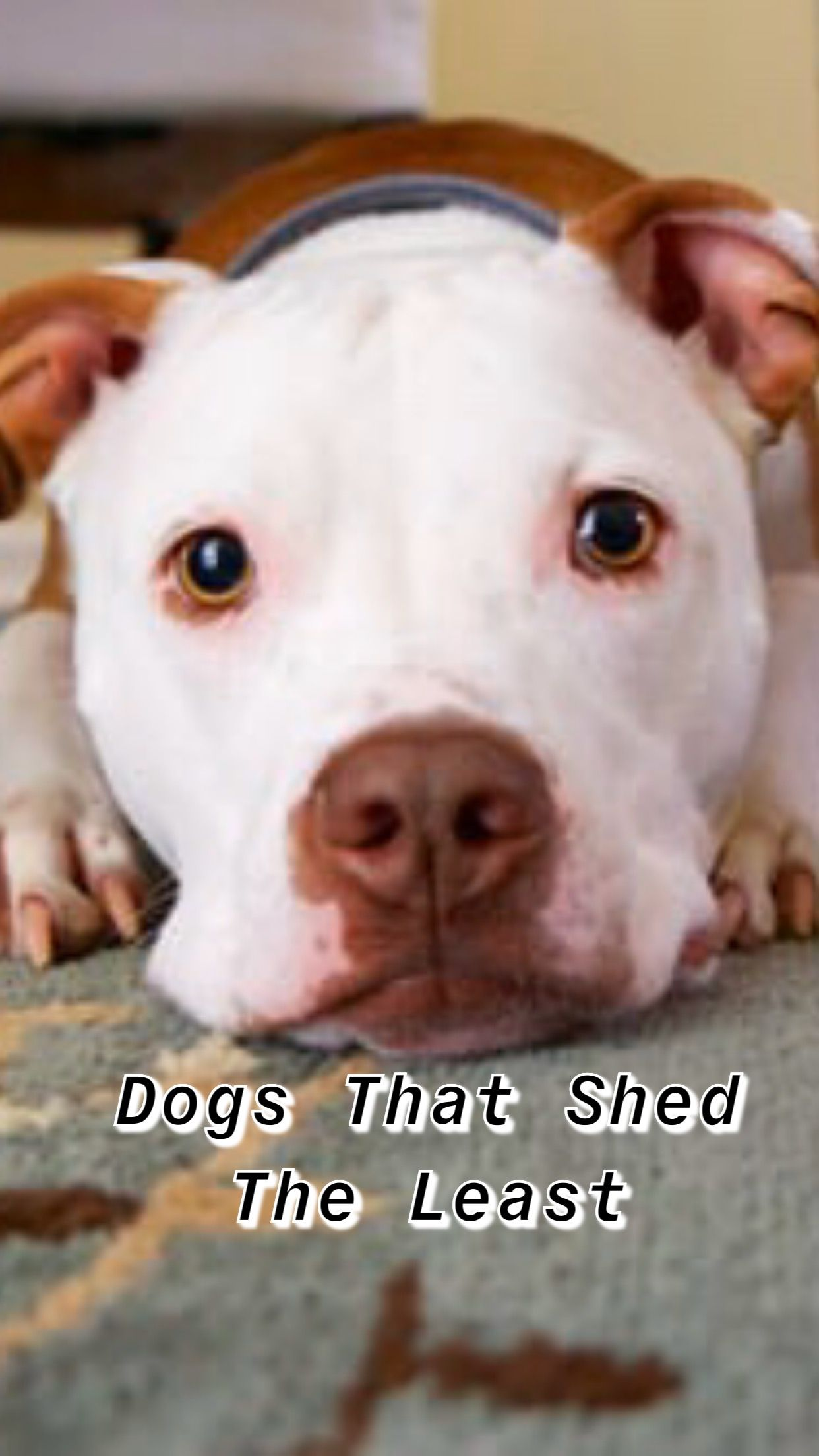 Pin On Dogs That Shed The Least