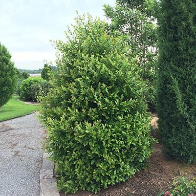 Centre Court Cherry Laurel From Garden Debut Lawn And Landscape Fast Growing Trees Plants