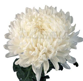 White football mum flowers football mums bridal flowers and weddings buy bulk white football mums flower for sale mightylinksfo