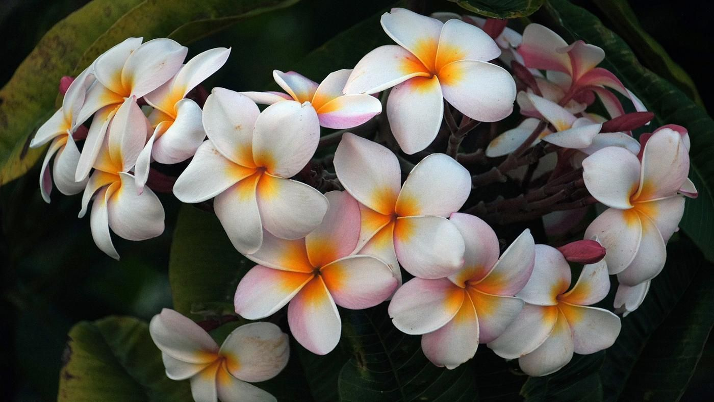 Fun Fact Plumeria Are Not Native To Hawaii They Were Brought Here In 1860 By A German Botanist Agameoftones Ig Mast Plumeria Landscape Photography Flowers
