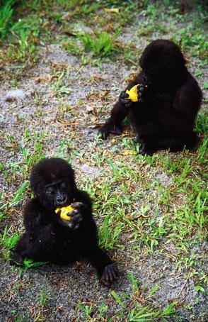 baby gorillas eating mangoes in Gabon