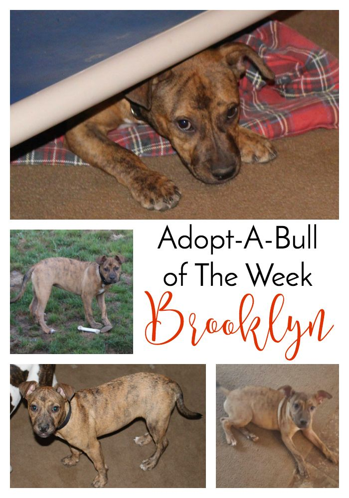 Adopt-A-Bull of The Week – Brooklyn in New York | http://www.thelazypitbull.com/adopt-a-bull-brooklyn-new-york/
