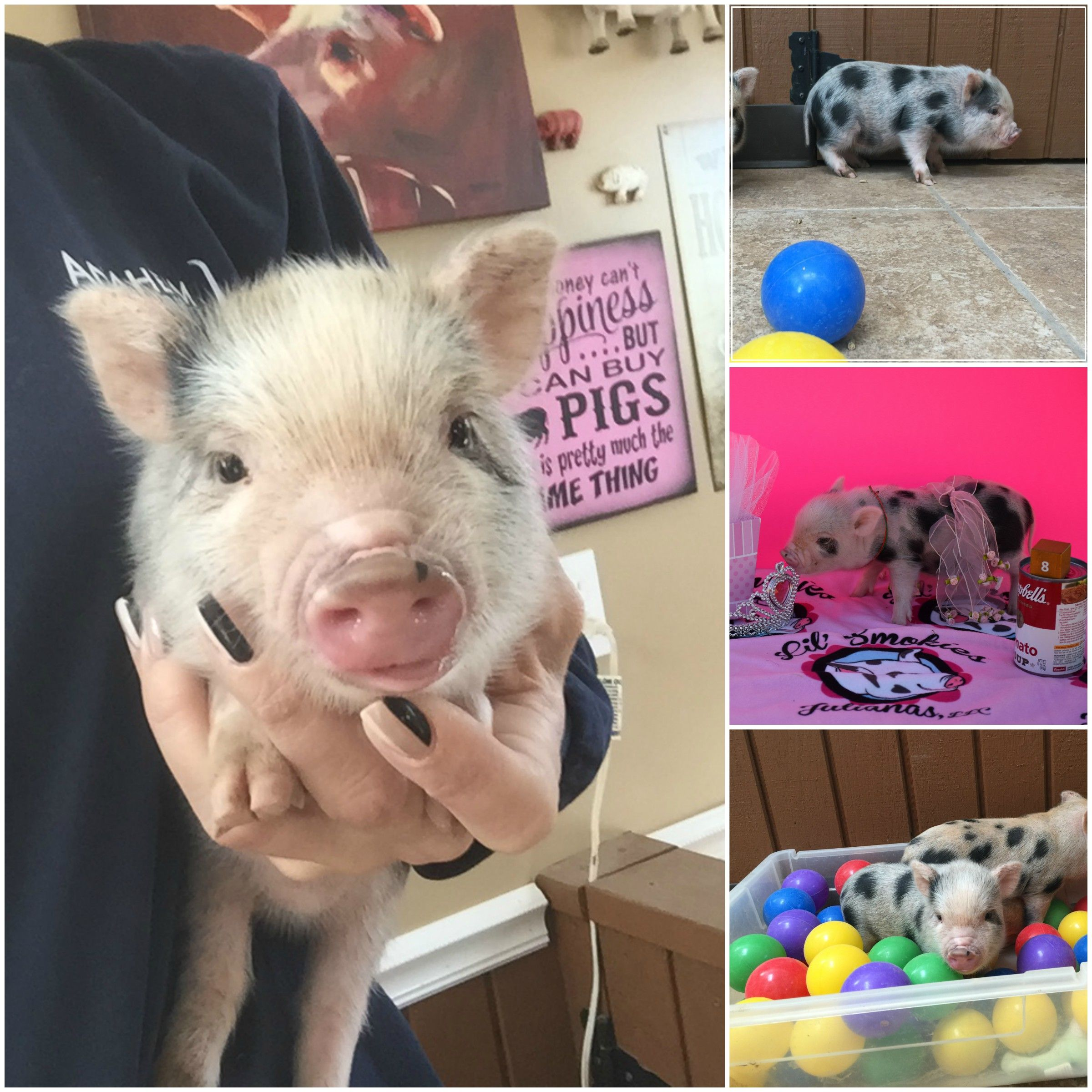 Yes Pigs Can Fly Double Registered Juliana Pigs Can Be Shipped Anywhere In The Us From A Reputable Ampa Breeder With Images Mini Pigs Juliana Pigs Micro Pigs