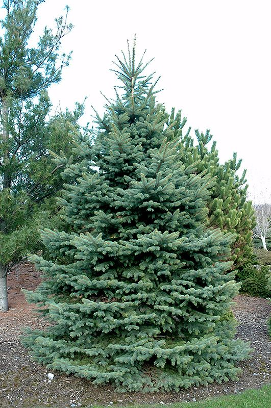 Baby Blue Eyes Spruce Picea Pungens Baby Blue Eyes At