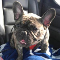 Domi Is An Adoptable French Bulldog Dog In Kitchener On Domi Is
