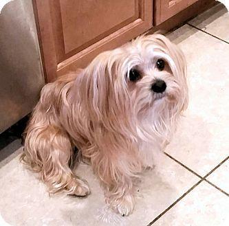 Winnetka Ca Silky Terrier Maltese Mix Meet Teddy A Dog For Adoption Terrier Designer Dogs Silky Terrier