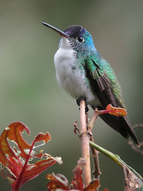 Andean Emerald - Hummingbird