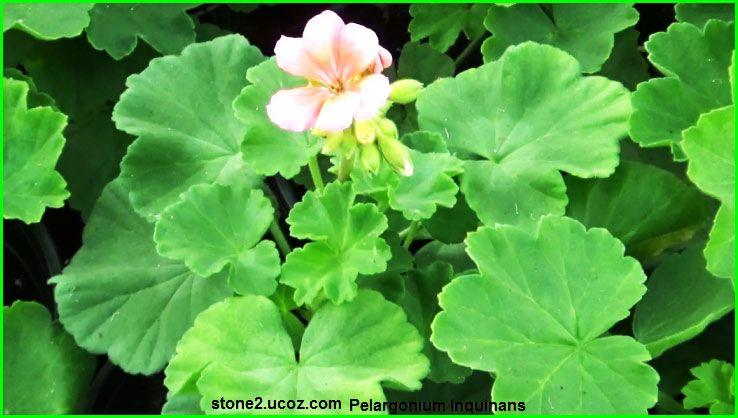 ابرة الراعي القرمزي العطرية Pelargonium Inquinans قسم النبات العطري نبات عطري معلومات نباتية وسمكية معلوماتية Plants Pelargonium Flowers