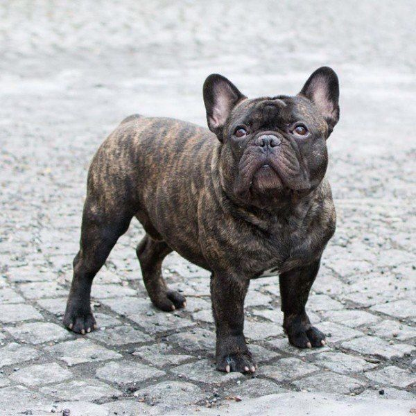 Brindle French Bulldog I Have A Dog Right Now That Looks Exactly