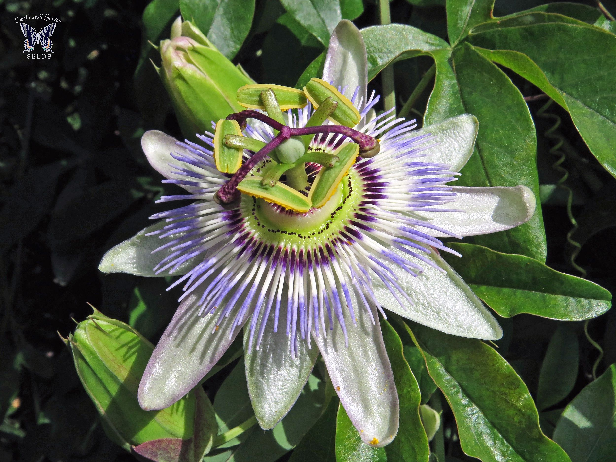 Blue Crown Passion Vine Flower Flower Seeds Flowering Vines Passion Flower