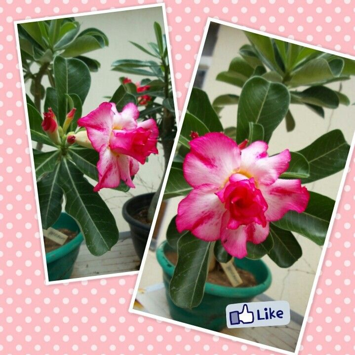 Rosas dobradas desabrochando no meu jardim!♥