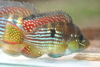 Gymnogeophagus meridionalis el norte aquarium fish for Vivero para peces