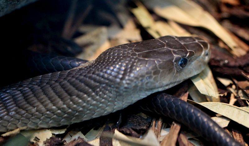 Ядовитые Змеи Мамба