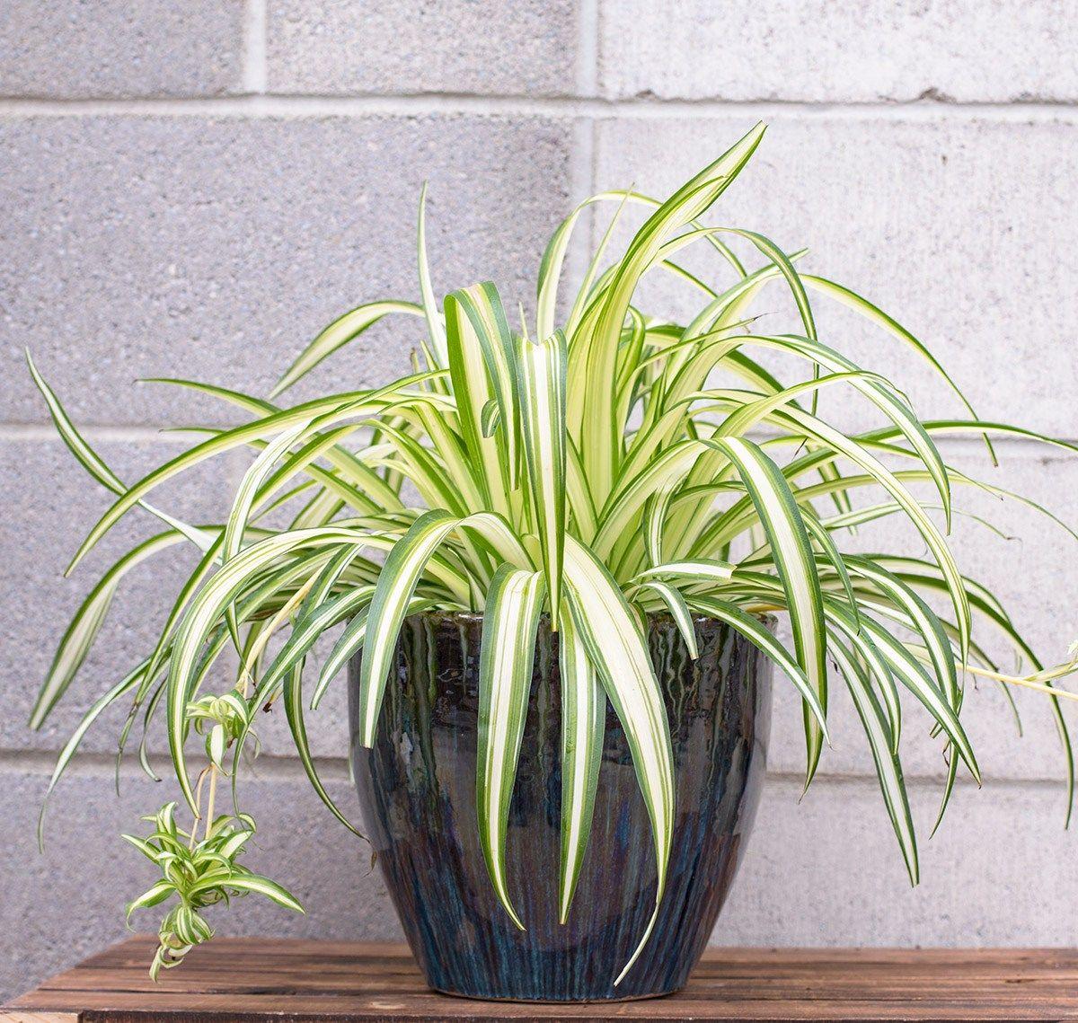 EasyCare House Plants Plants, House plants, Spider plants