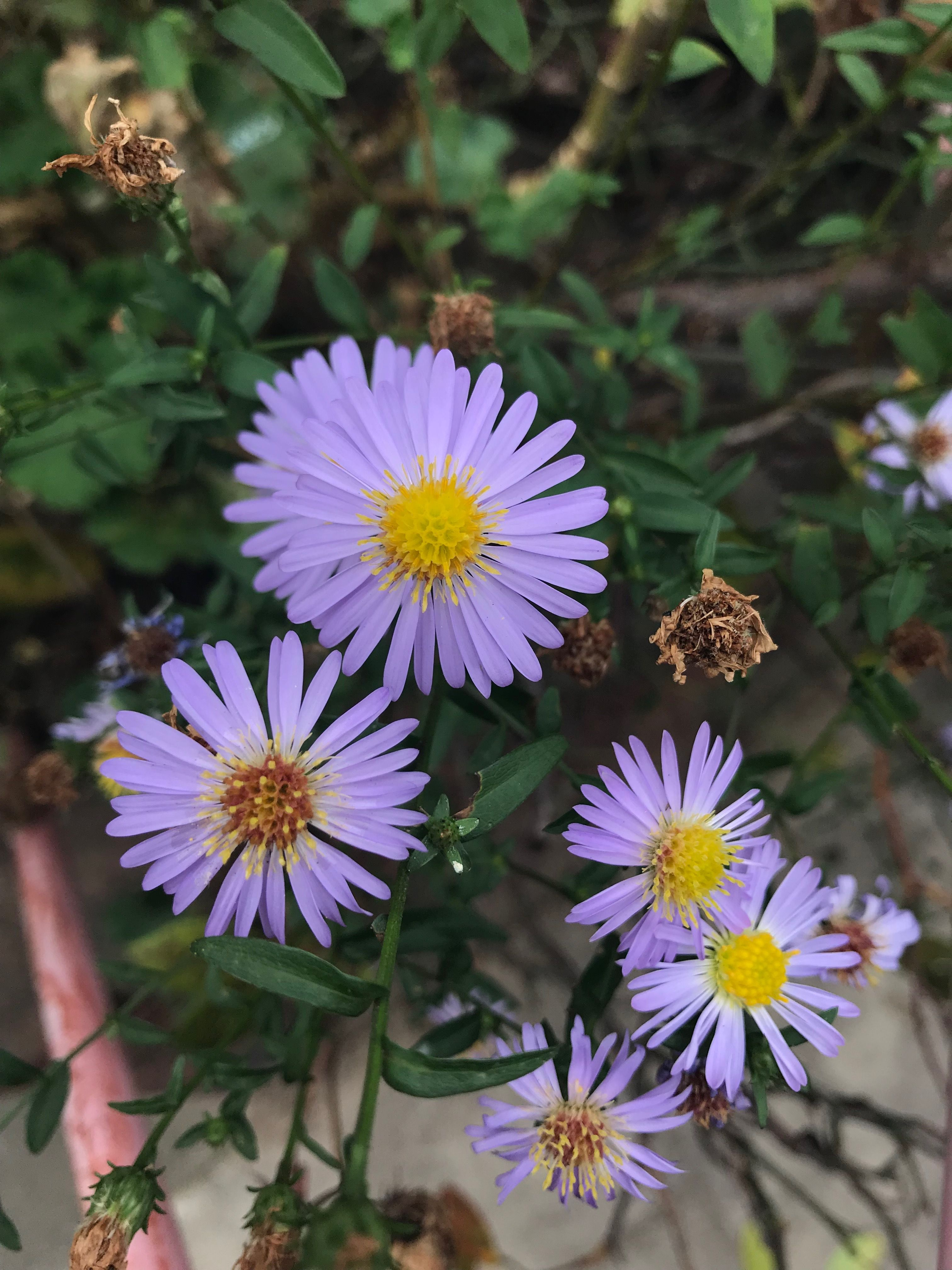 Pin By Sara Montrose On Color Trends White Flower Farm Plants Aster