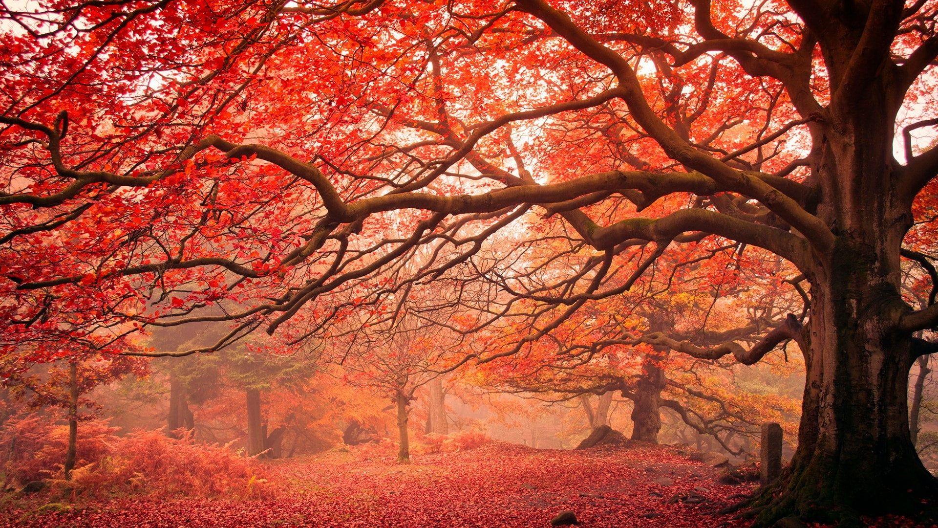 Red Leaves Autumn Leaves Tree Autumn Landscape Deciduous Autumn 1080p Wallpaper Hdwallpaper Des Autumn Landscape Landscape Sequoia National Park Camping