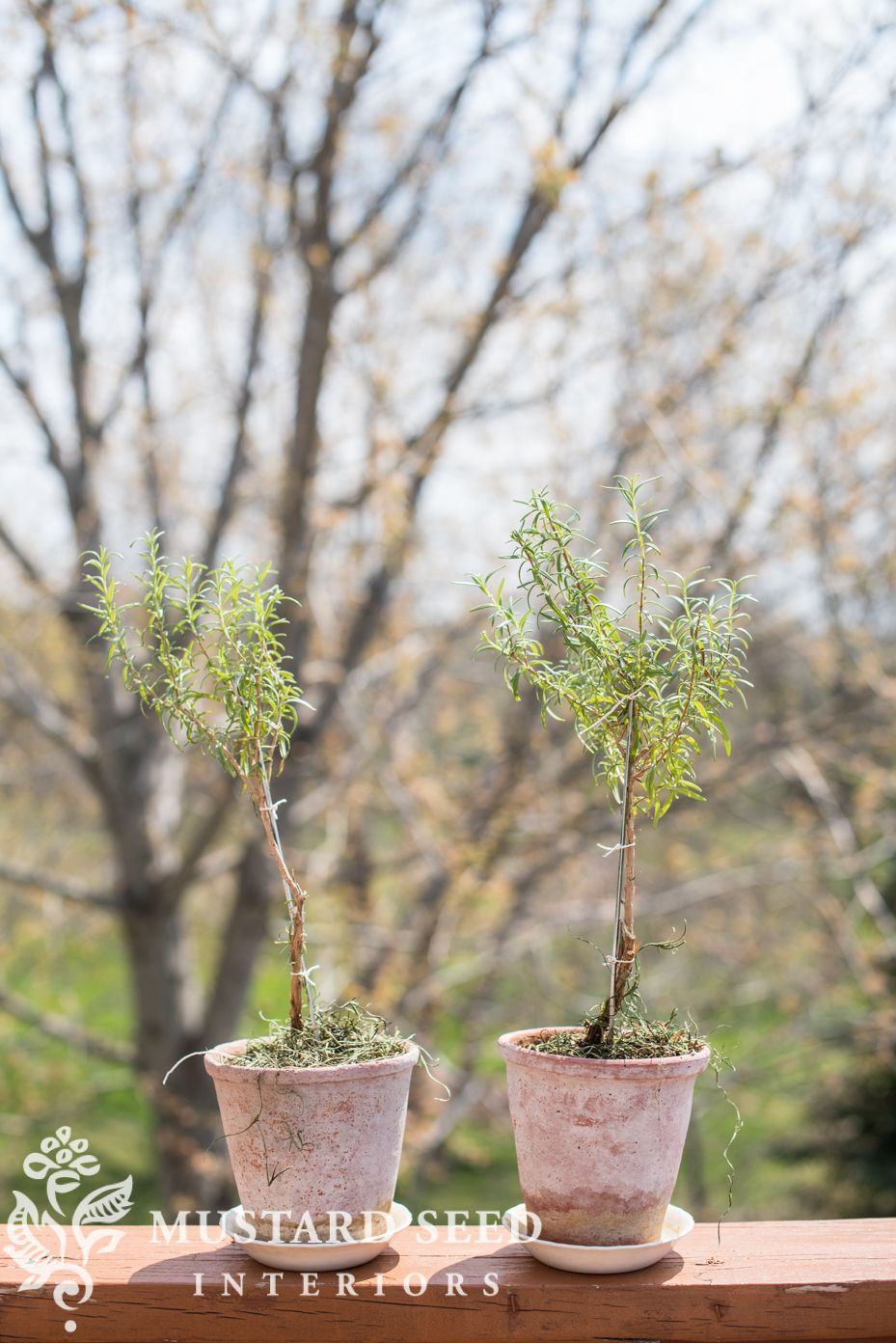 """a little """"spring cleaning"""" for my indoor plants Rosemary"""