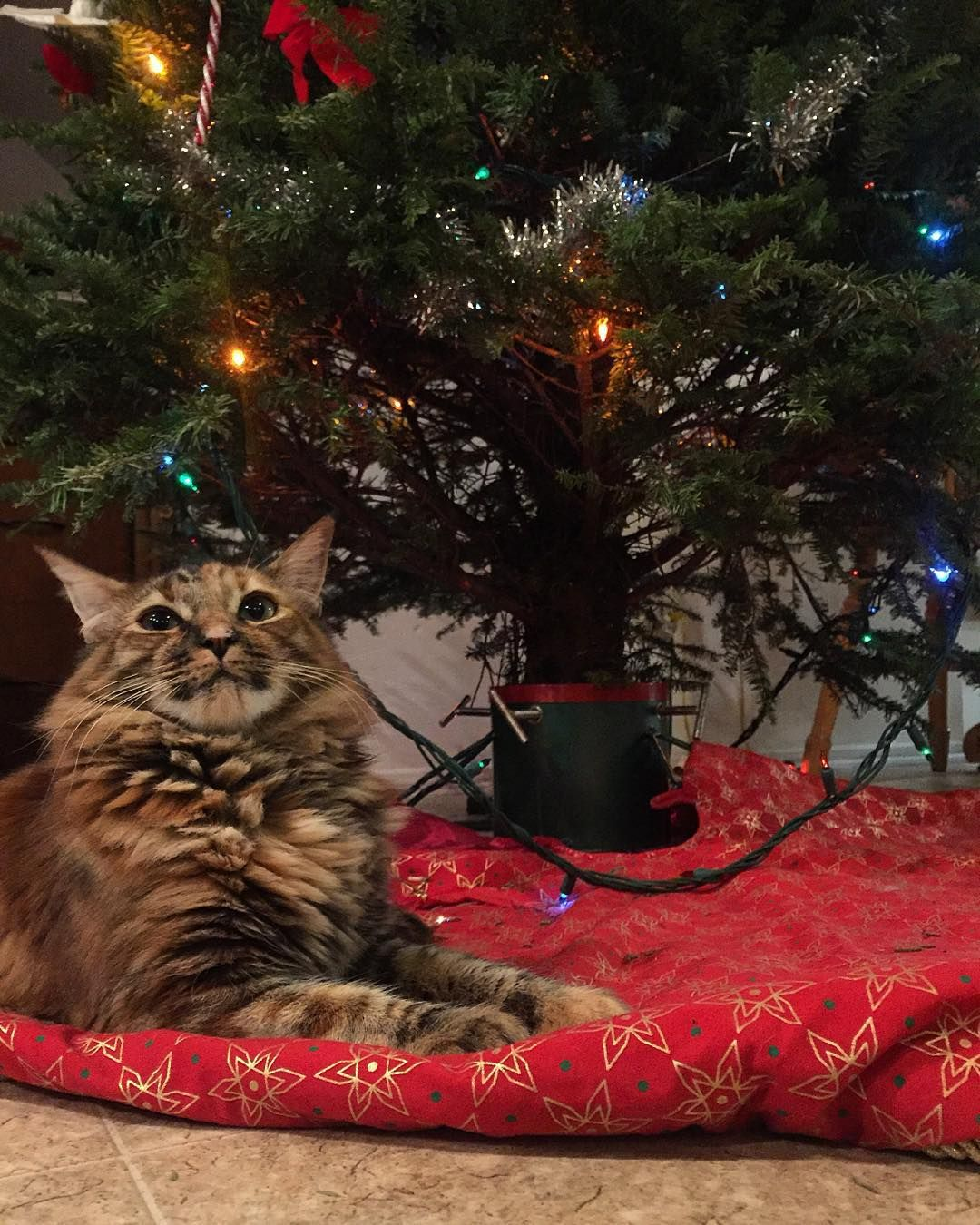 How To Cat Proof Your Christmas Tree This Holiday Peta Christmas Cats Cat Proof Christmas Tree Kitten Proofing